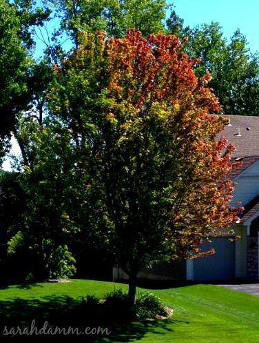 early fall tree